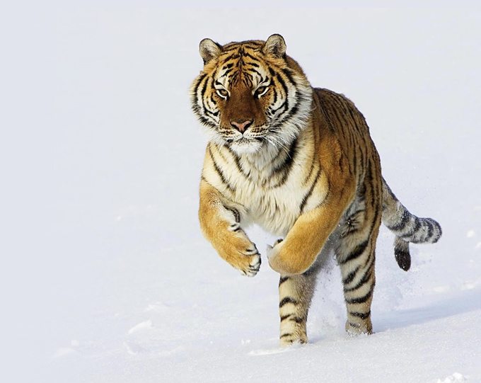 Counting Tigers in the Russian Far East