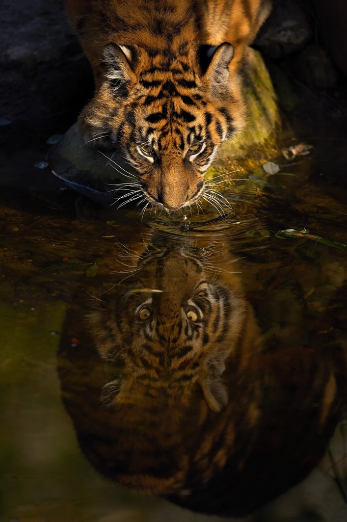 Sumatran Tiger Facts Wildcats Conservation Alliance