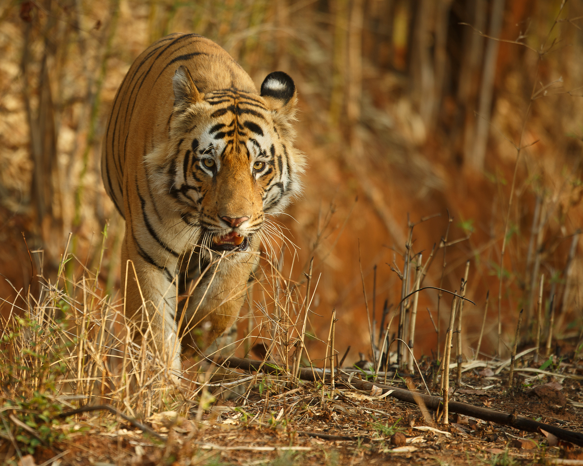 Tiger numbers increase but populations are still fragile