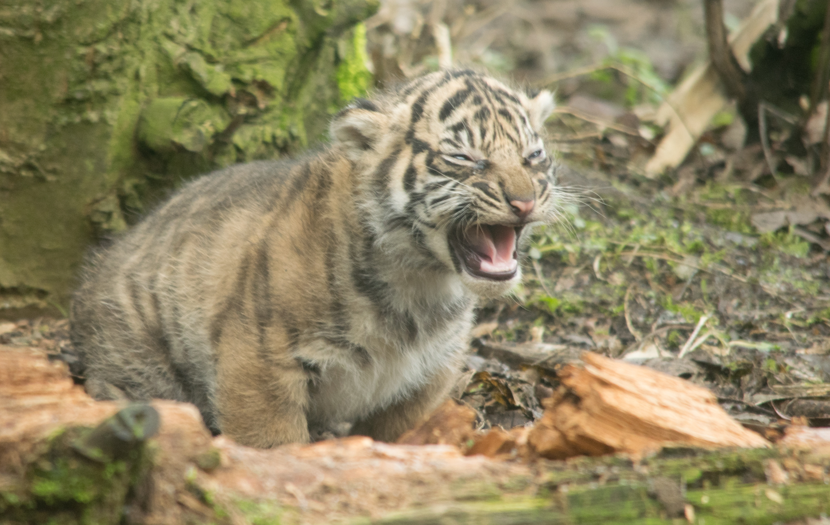tiger conservation essay Find paragraph, long and short essay on tiger for your kids, children and  to  the world tiger census) all over the world which we have to conserve in any way.